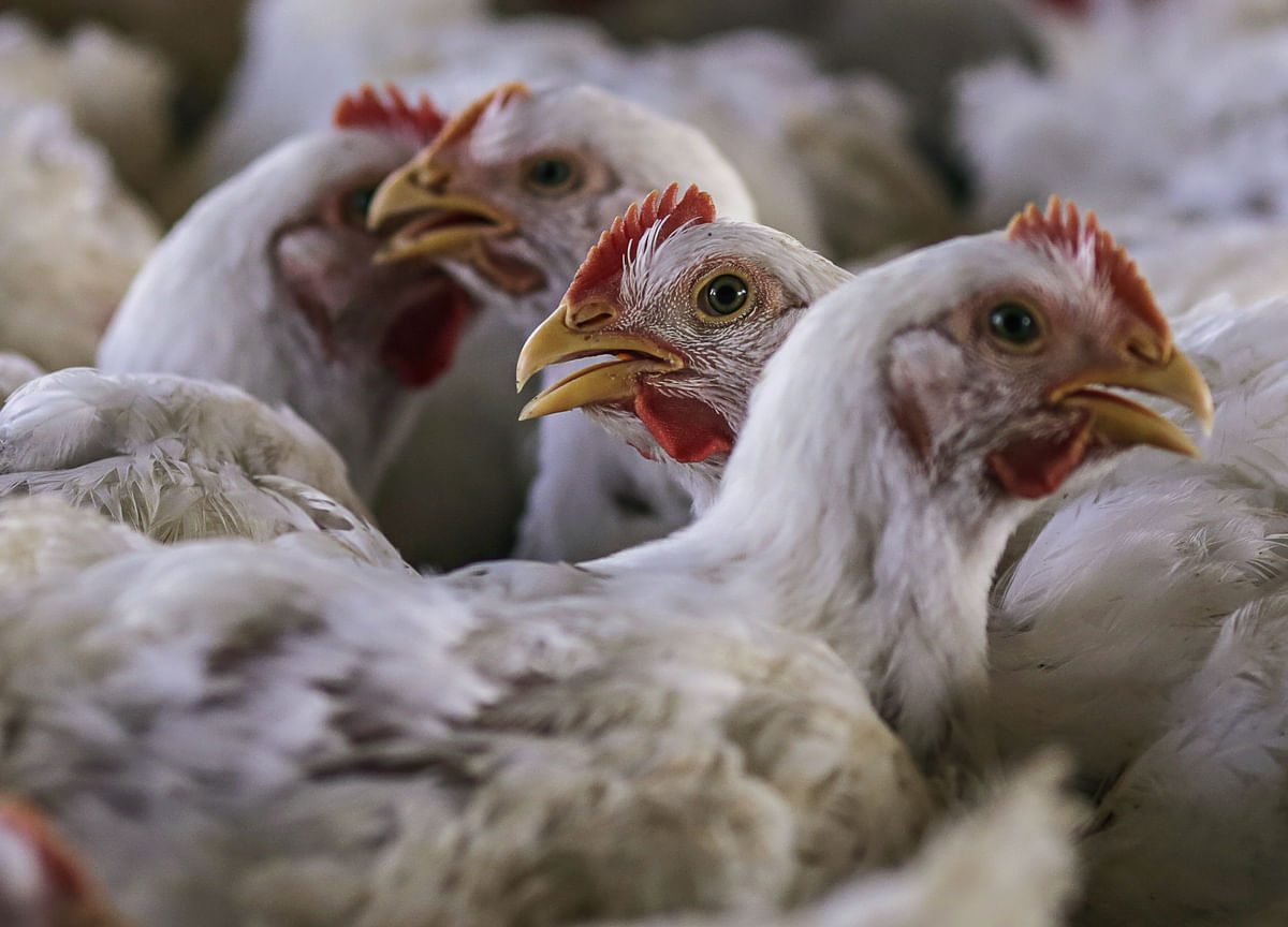 Bird Flu In Poultry Confirmed In 9 States So Far, Government Says
