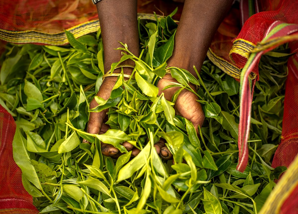 India Tea Exports May Shrink Because of Tough Competition From Kenya