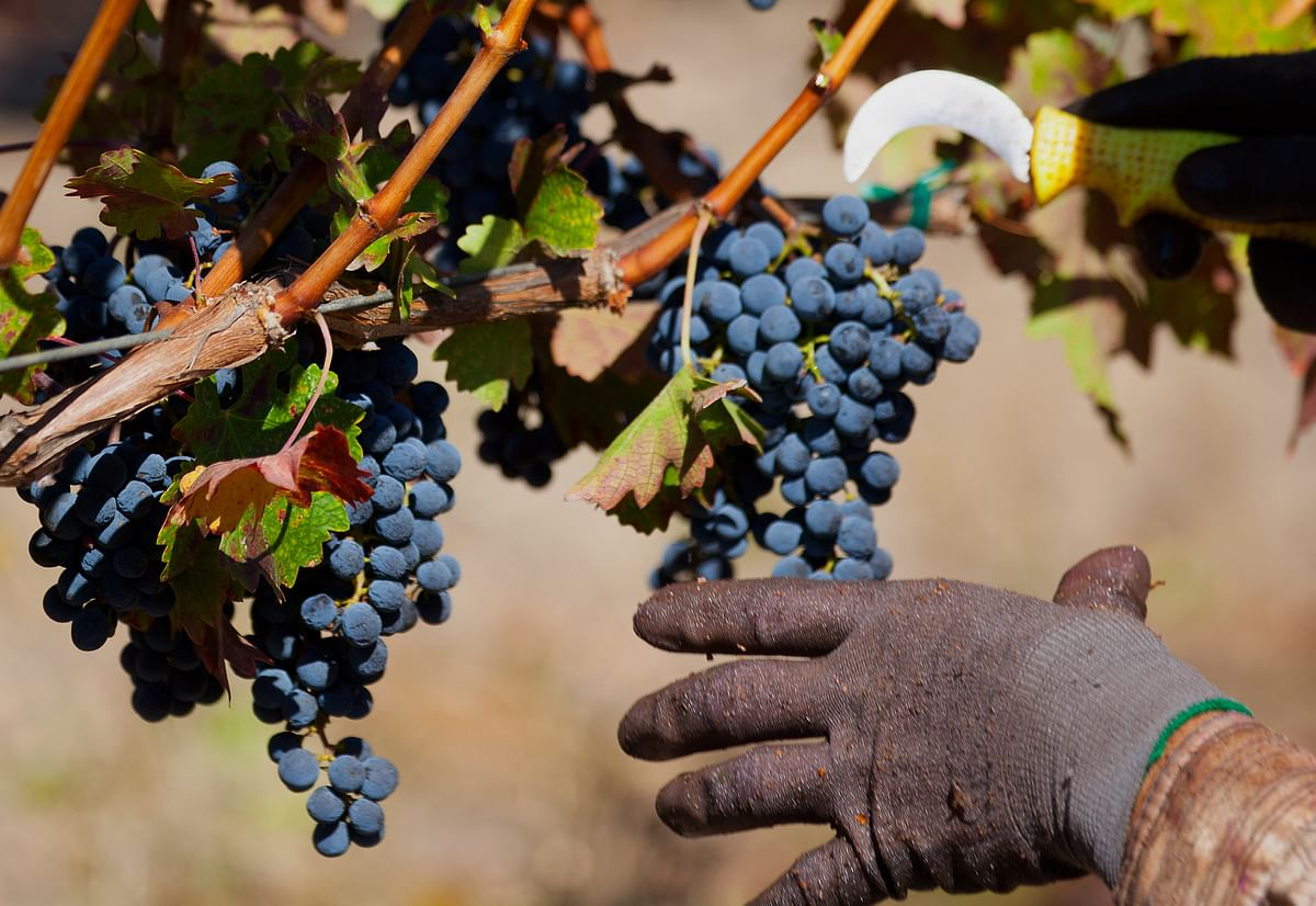 A worker harvests cabernet grapes at a vineyard in Healdsburg, California, U.S. (Photographer: Tim Rue/Bloomberg)