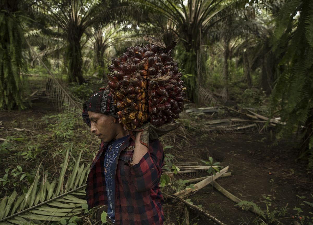 Palm Oil Posts Its Longest Quarterly Slump on Record
