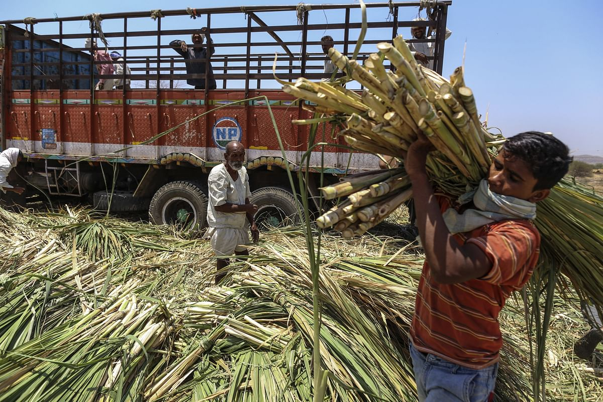Workers unload sugarcane tops at a cattle shelter in Beed district, Maharashtra, India. (Photographer: Dhiraj Singh/Bloomberg)