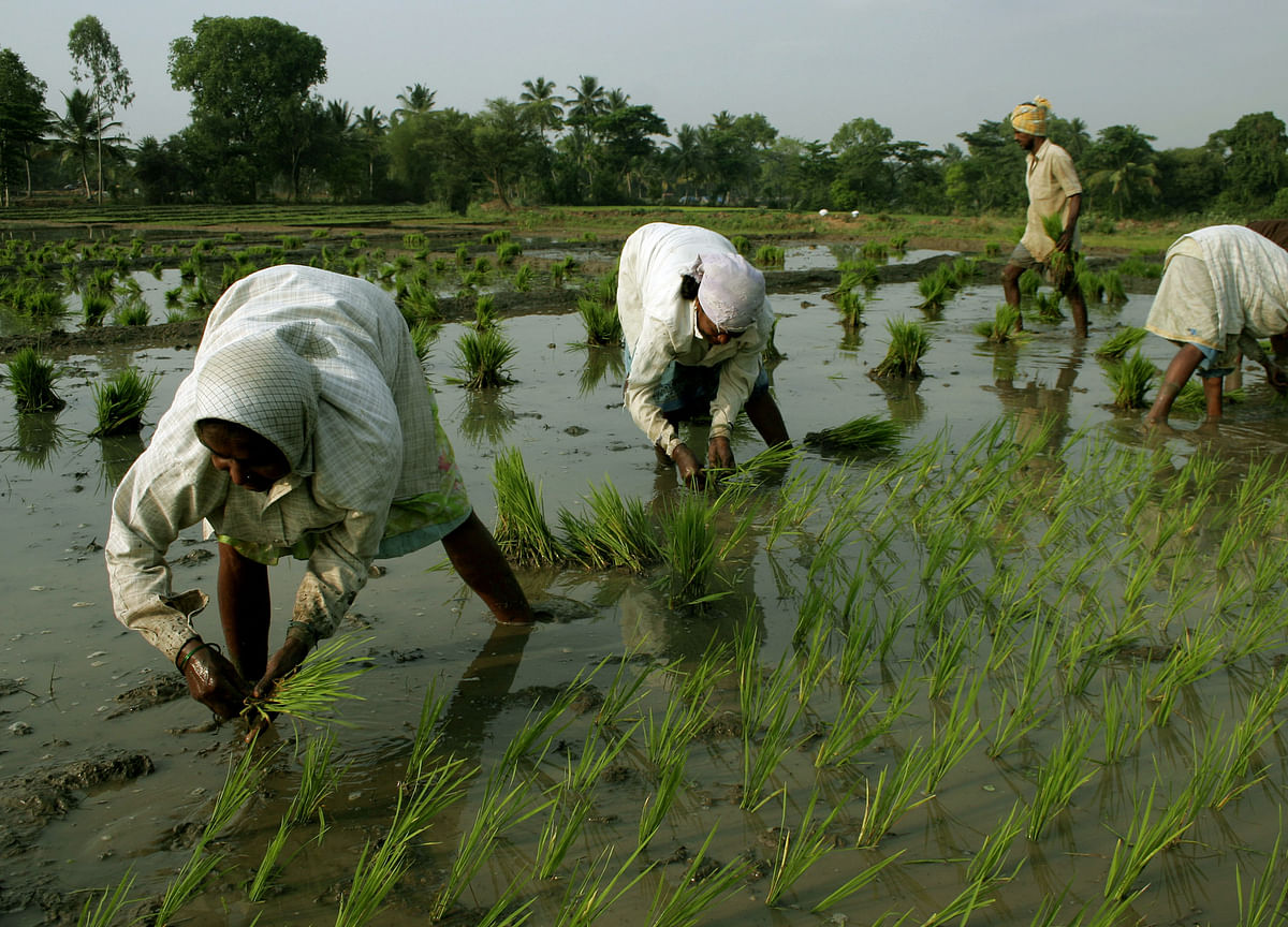 Climate Change Crisis: Why Fatuhi Khera In Punjab Changed From Cotton To Rice