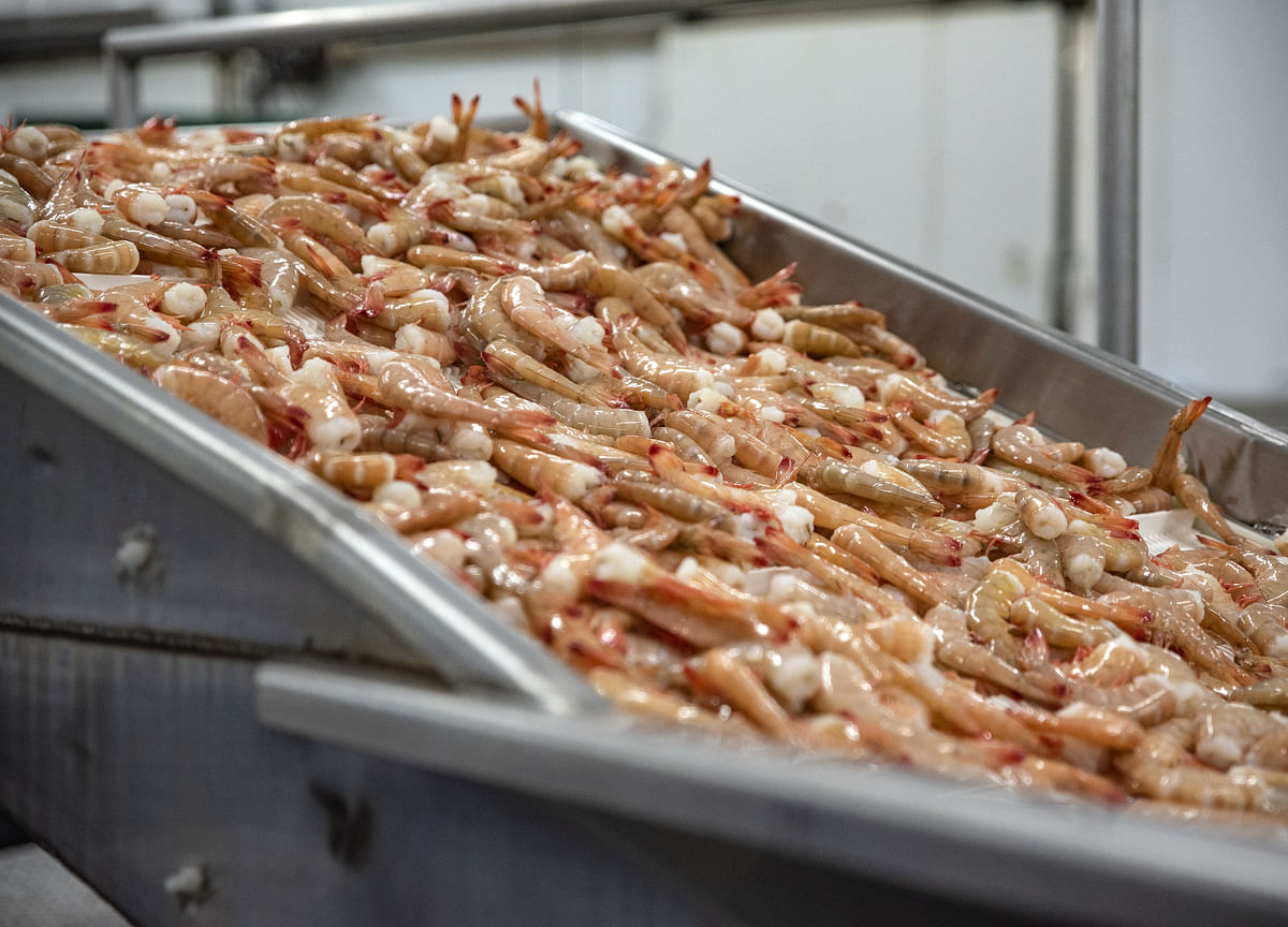India's Shrimp Exports To U.S. Fall For The First Time In At Least 18 Months