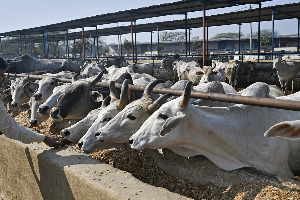 Cows feed in a cattle shed at the Sri Krishna Gaushala on the outskirts of New Delhi, India, on Jan. 21, 2018. (Photographer: Anindito Mukherjee/Bloomberg)