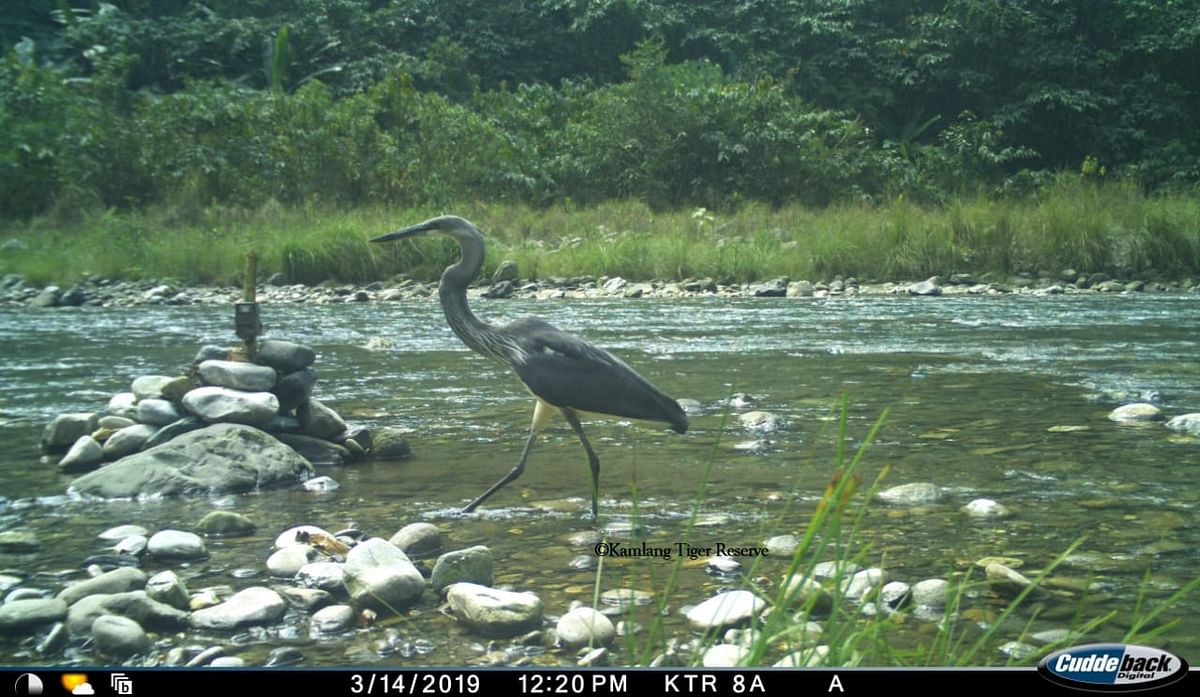 A White-Bellied Heron, at the Kamlang Tiger Reserve in Arunachal Pradesh, on March 14, 2019. (Photograph: with permission from Kamlang Tiger Reserve)