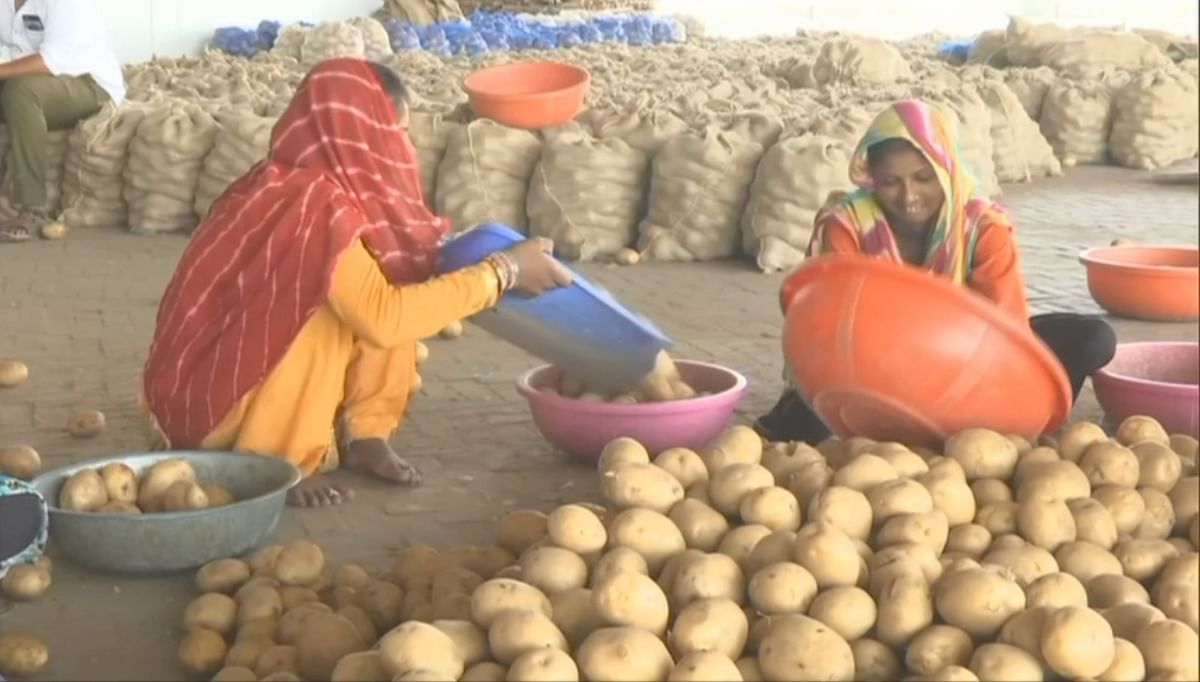 Potatoes being sorted at a warehouse in Aravali, Ahmedabad. (Image courtesy: ANI)