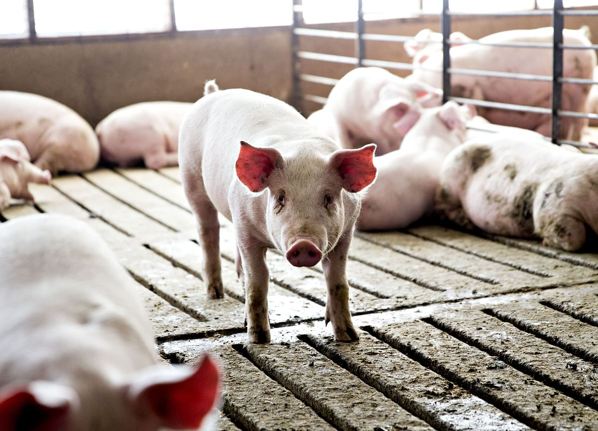 A Pig-Fattening Drug Triggered the Latest China-Canada Trade Spat
