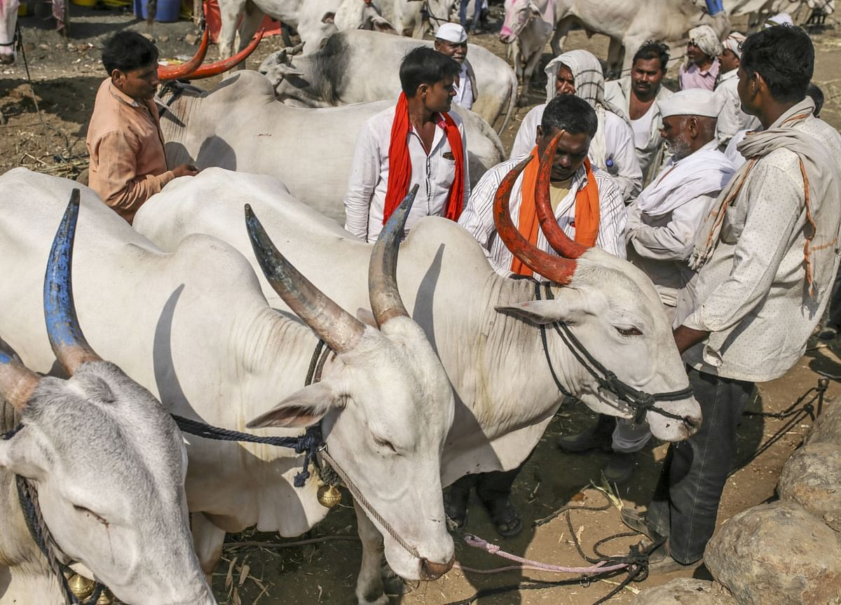 Some Very Hungry Cows May Rescue India From a Giant Sugar Glut
