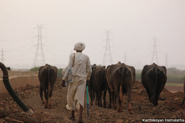 A <em>maldhari</em> takes his buffaloes grazing. The transmission lines in the background rise from the Charanka solar park. (Source: IndiaSpend)