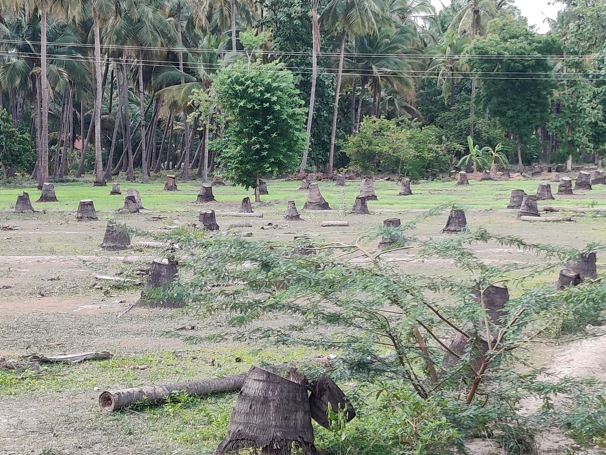 Felled coconut trees in northern Tamil Nadu. (Photographer: Parth MN)