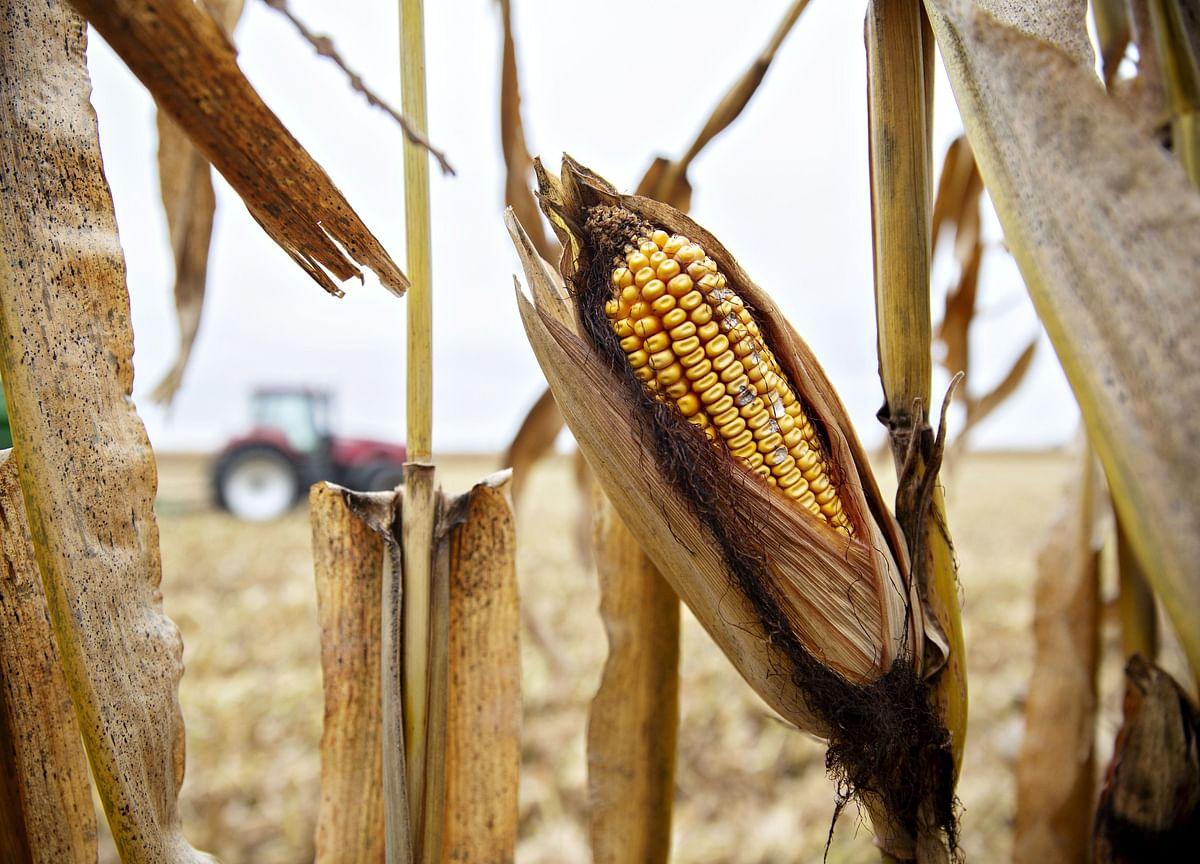 Corn Futures Post Worst Rout Since 2013 on U.S. Acreage Surprise