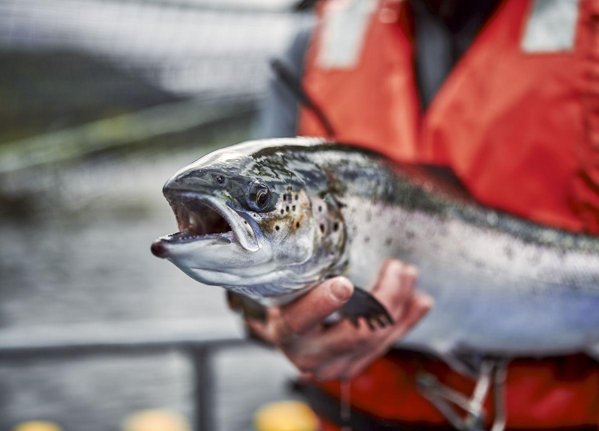 Data-Rigging Scandal Rocks Salmon-Farming Industry in Patagonia