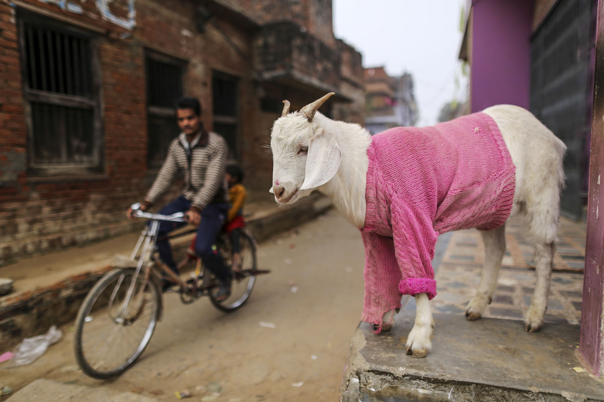 State Elections: Goats For Votes And India's Sops Series