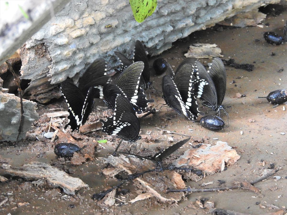 Mormon Butterflies mud puddling. (Photograph: Neha Sinha)