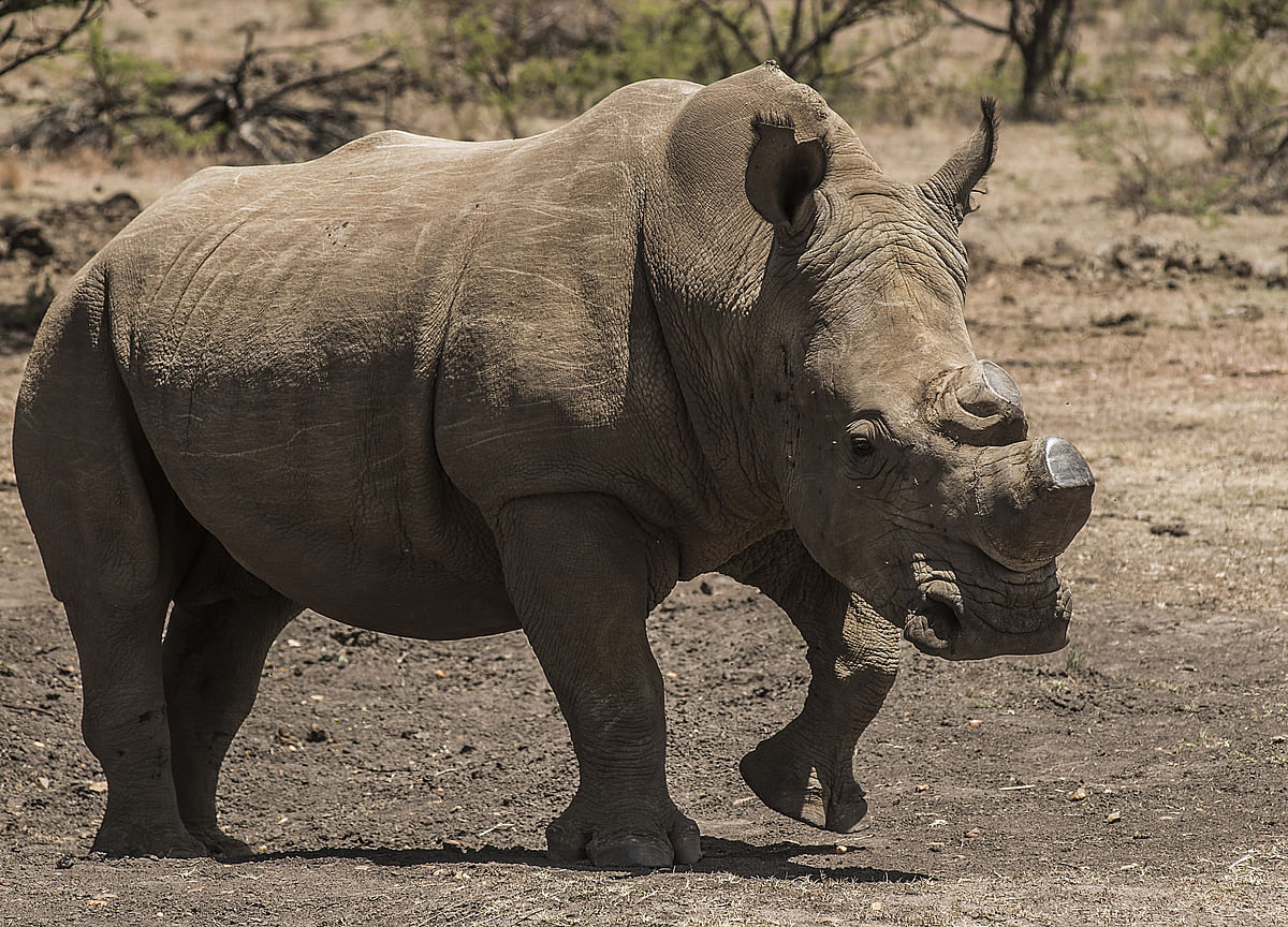 Nearing Extinction, Rare Rhinos Get Glimmer of Hope for Survival