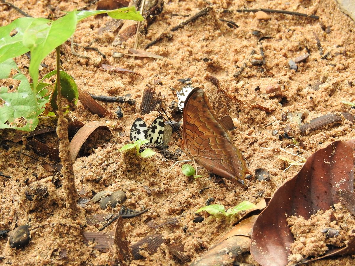 After the rains, Glassy Pierrot and Rajah butterflies take nutrients from the wet soil. (Photograph: Neha Sinha)