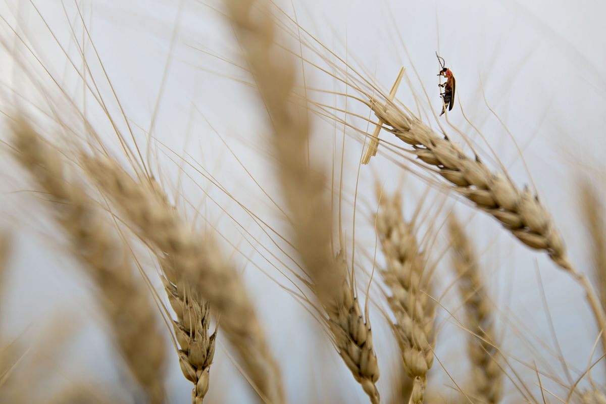 A firefly crawls on a the head of a wheat stalk in a field. (Photographer: Daniel Acker/Bloomberg)