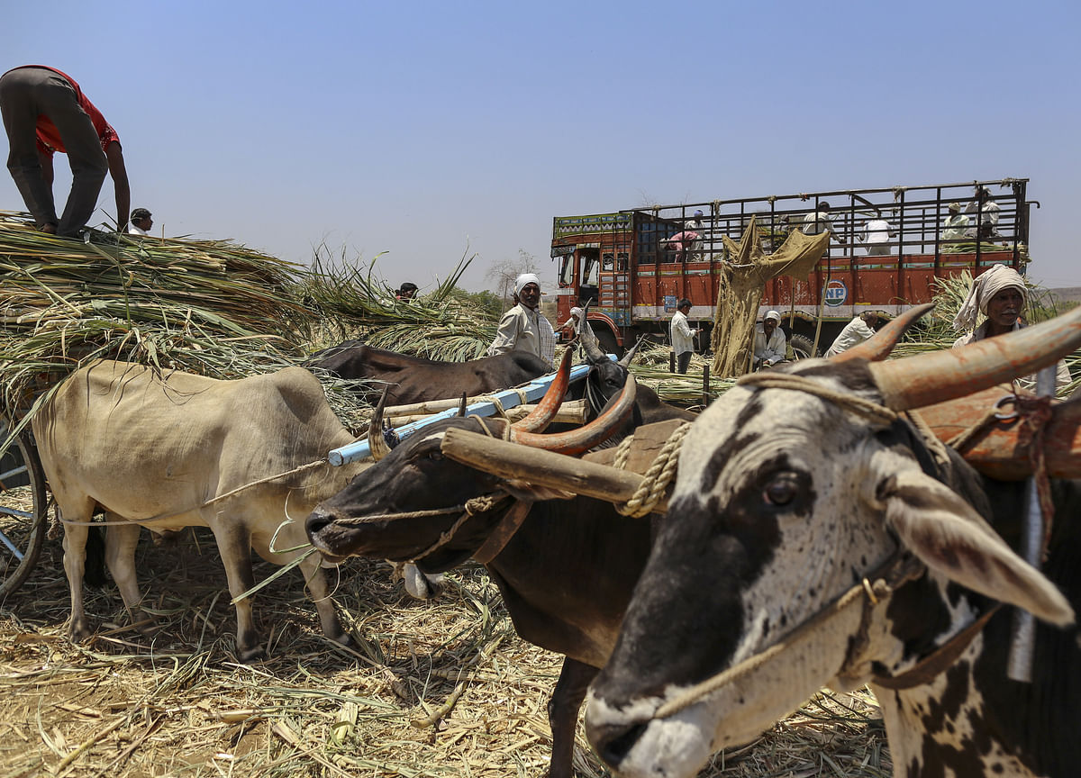 Hungry Cows Reduced Sugar Output in a Top Producing Region in India