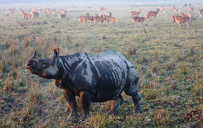 A one-horned rhinoceros at the Kaziranga National Park, Assam. (Photograph Courtesy: Chris Miller/Kaziranga National Park)