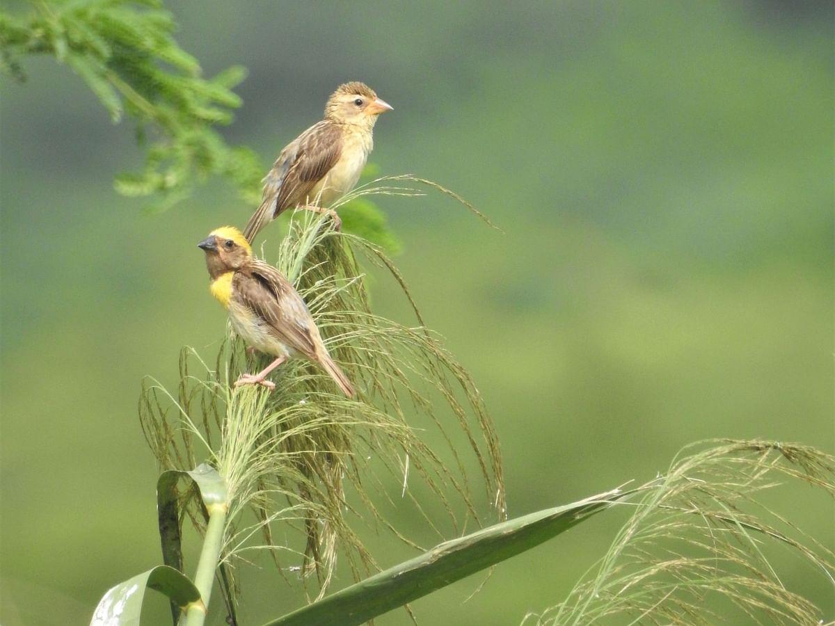 A male and female baya. (Photograph: Neha Sinha)