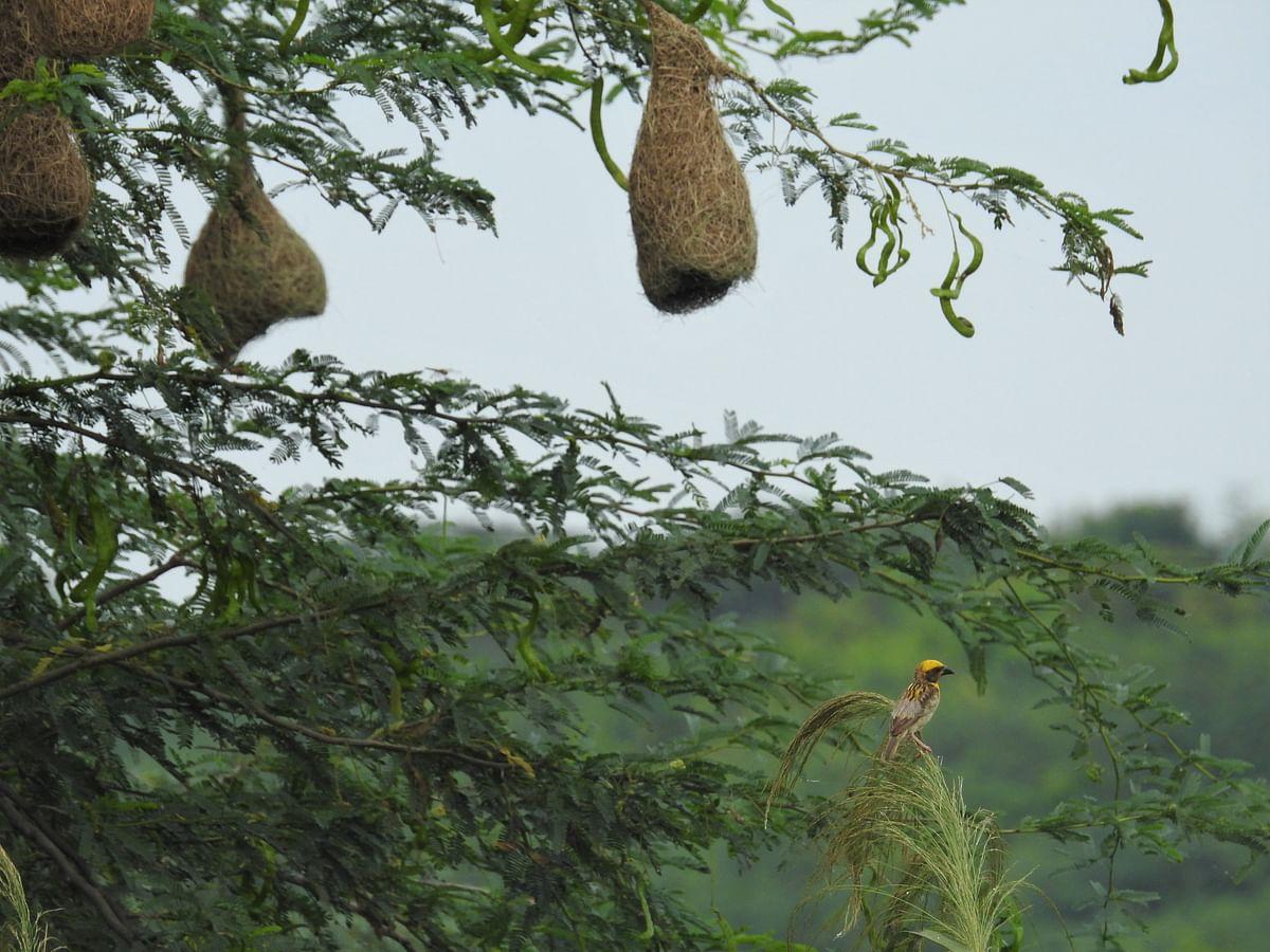 A Baya with a nest. (Photograph: Neha Sinha)