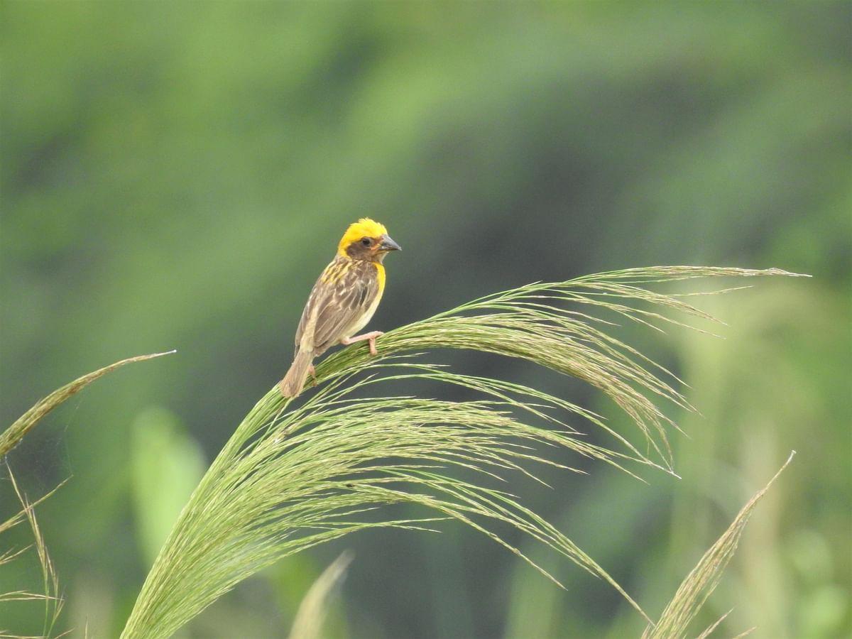 A baya perched on blades of grass. (Photograph: Neha Sinha)