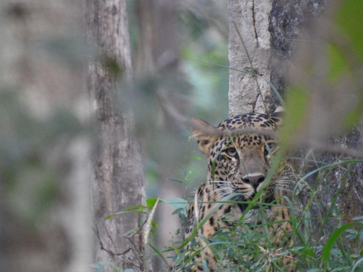 An Indian leopard. (Photograph: Neha Sinha)