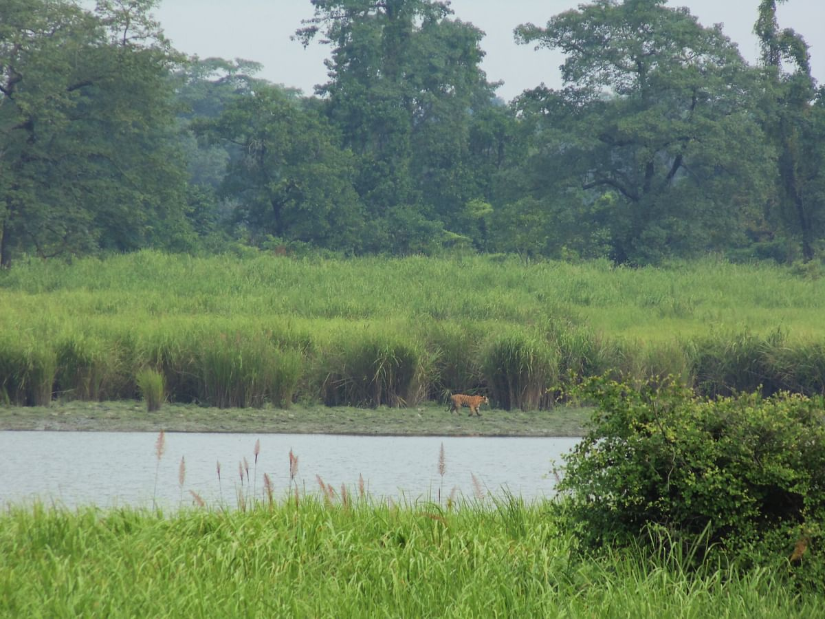 A tiger negotiating water bodies and tall grass. (Photograph: Neha Sinha)