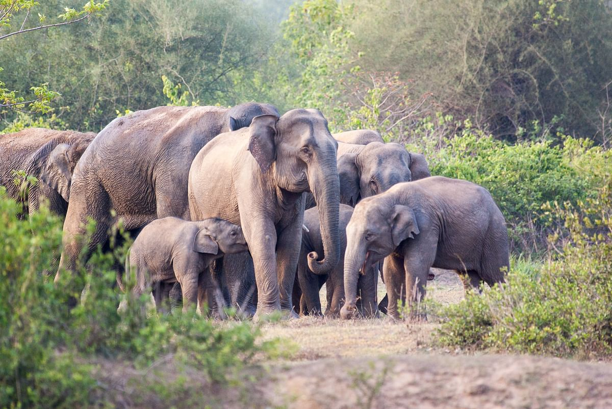 A typical elephant herd. The mother and aunts take care of the young ones and they travel together through the fragmented landscape. (Photo courtesy: Aditya Panda)