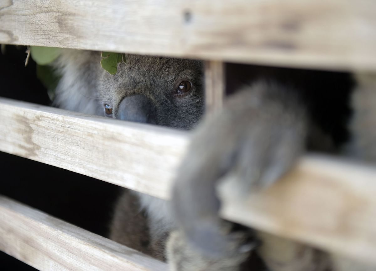 Koalas Could Be Classified 'Endangered'After Fires Decimate Population