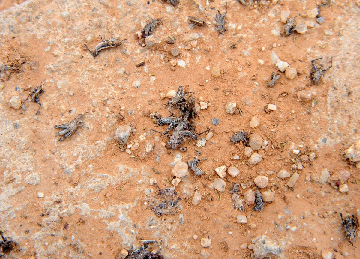Swarms of Locusts Are Wreaking Havoc on Key Indian Crops