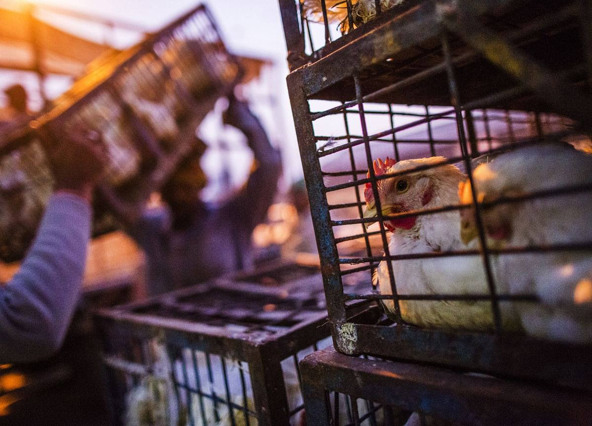 Bird Flu Spreads To 10 States; Centre Allays Fears Of Transmission To Humans