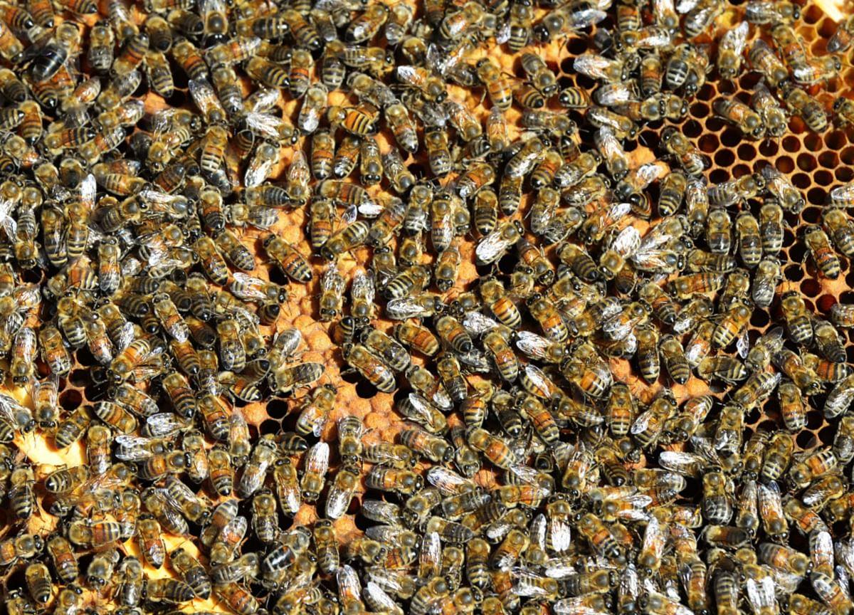 Millions of Bee Deaths Threaten Australia's Almond Harvest