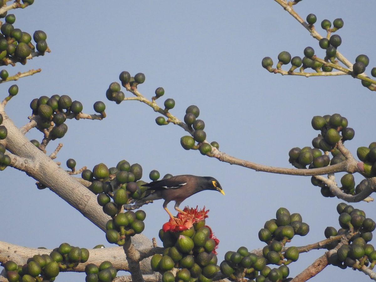 A common Myna on a Semal tree. (Photograph: Neha Sinha)
