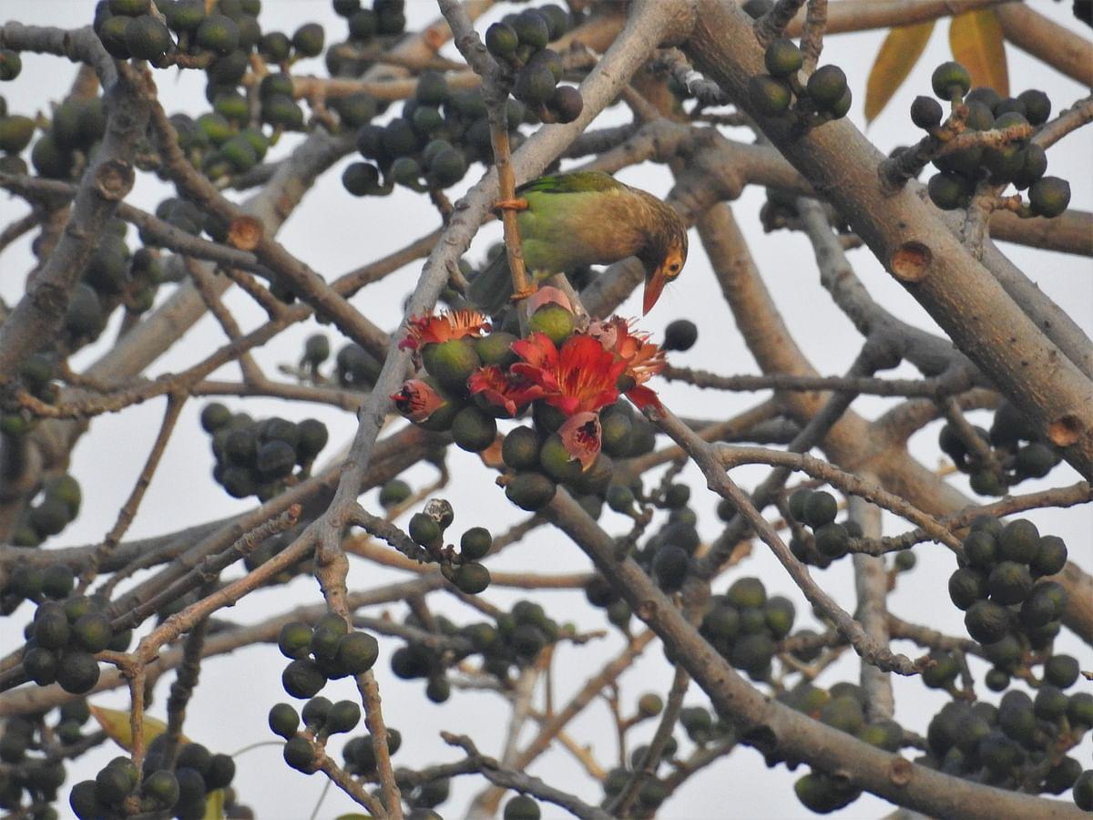 A brown-headed Barbet feeds on a Semal flower. (Photograph: Neha Sinha)