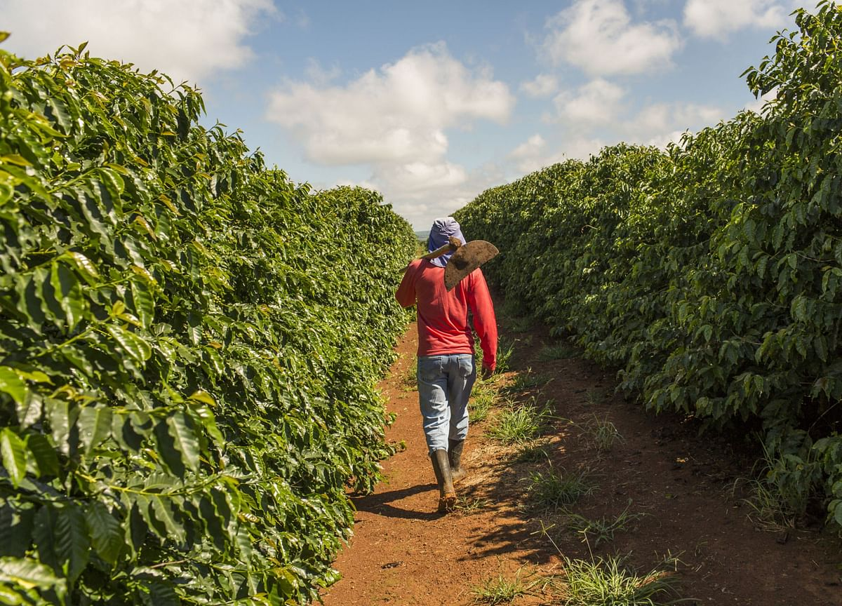 Coffee Growers Fret Lost Output In 'Ticking Time Bomb' Brazil
