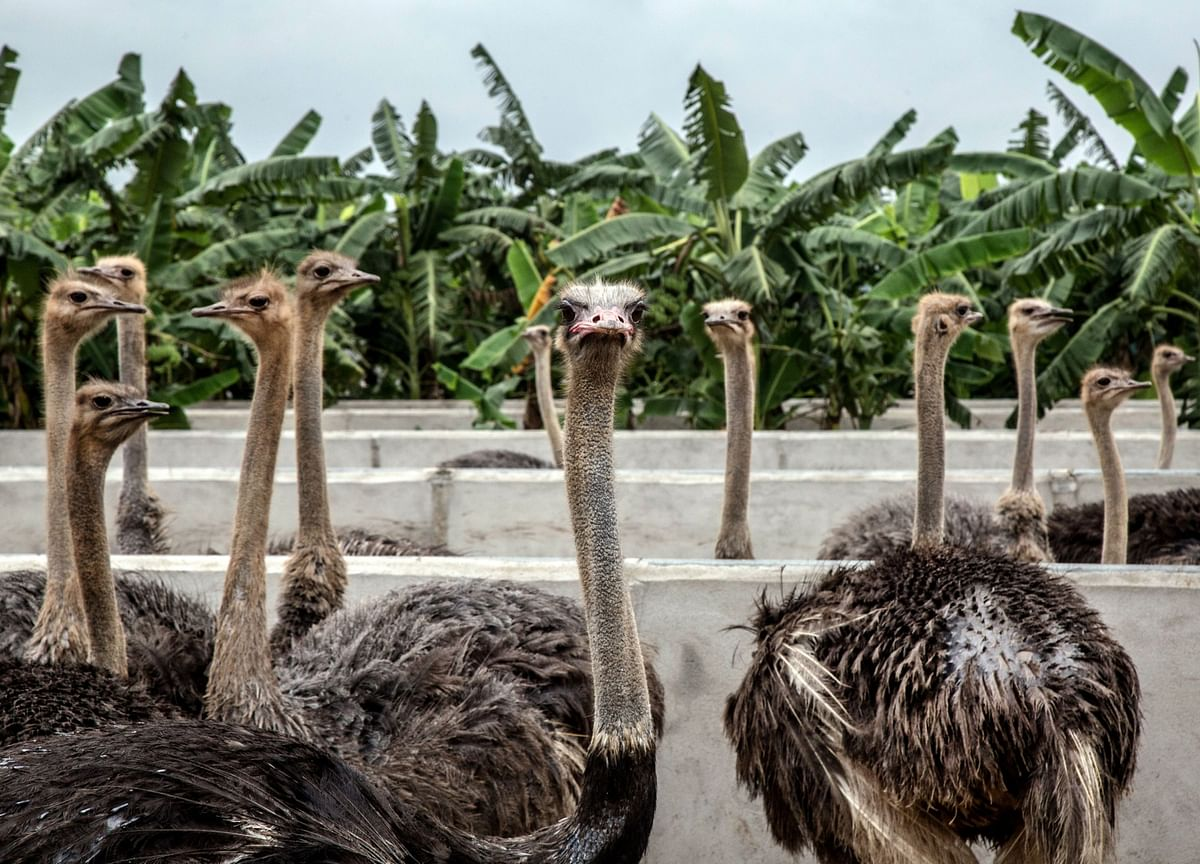 Covid-19 And The Ostrich School Of Risk Management