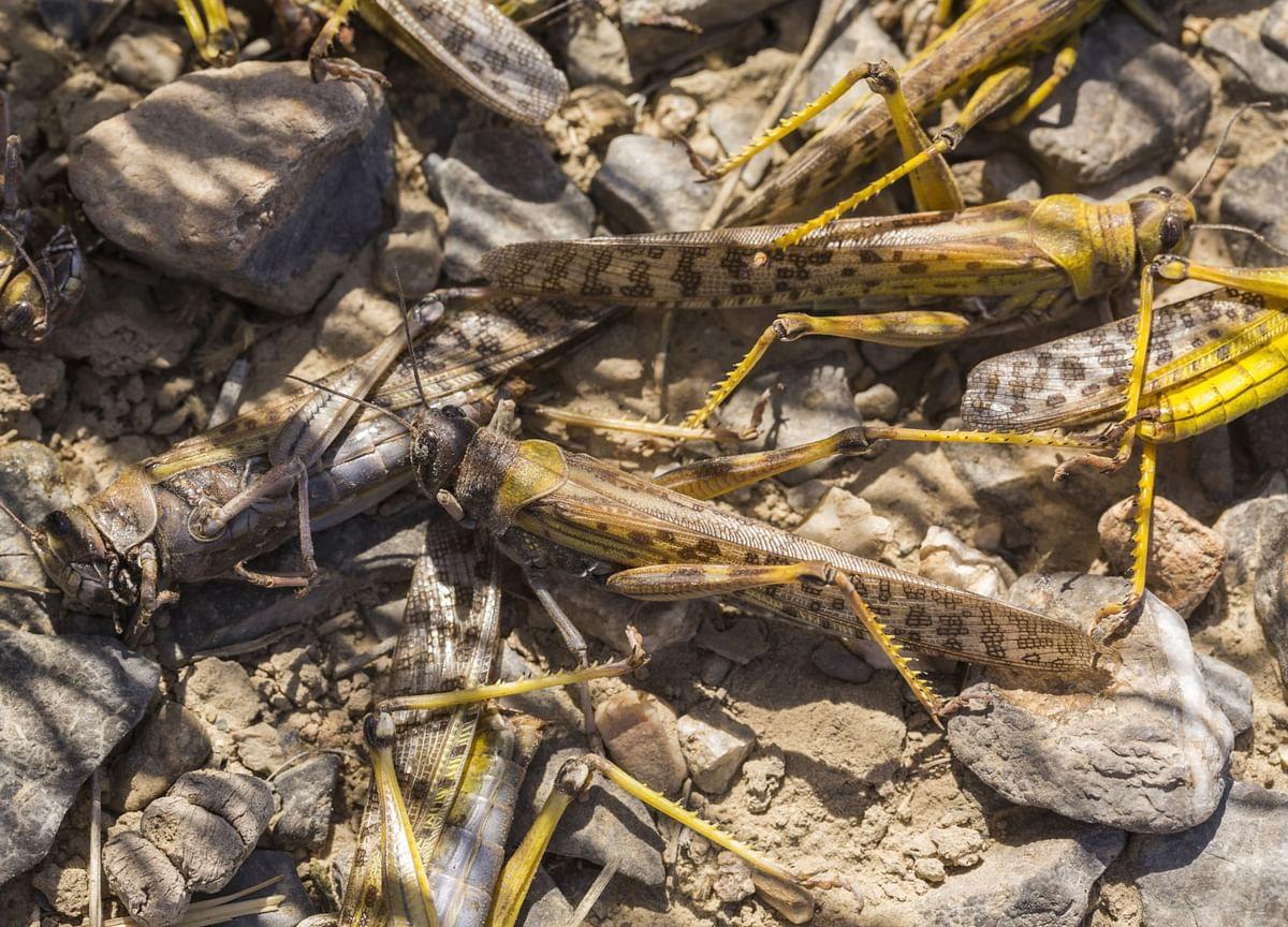 Locust Swarm Enters India's Sugar Cane Region