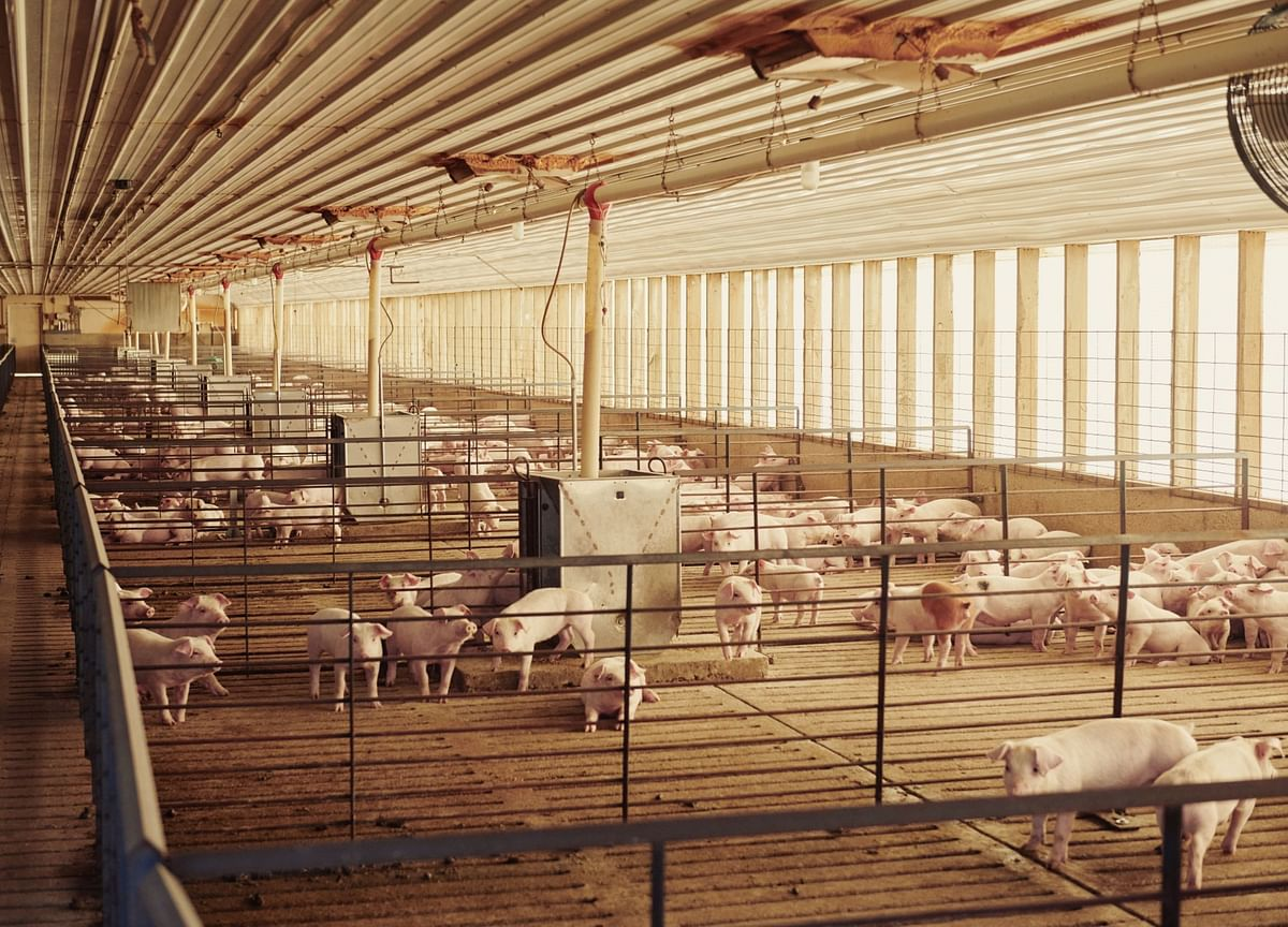 A Booming Airline Business: Shipping Pigs to China in 747 Jumbo Jets