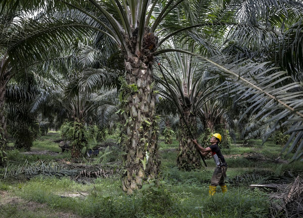 Indonesia's Palm Oil Reserves Seen Slumping to 16-Month Low