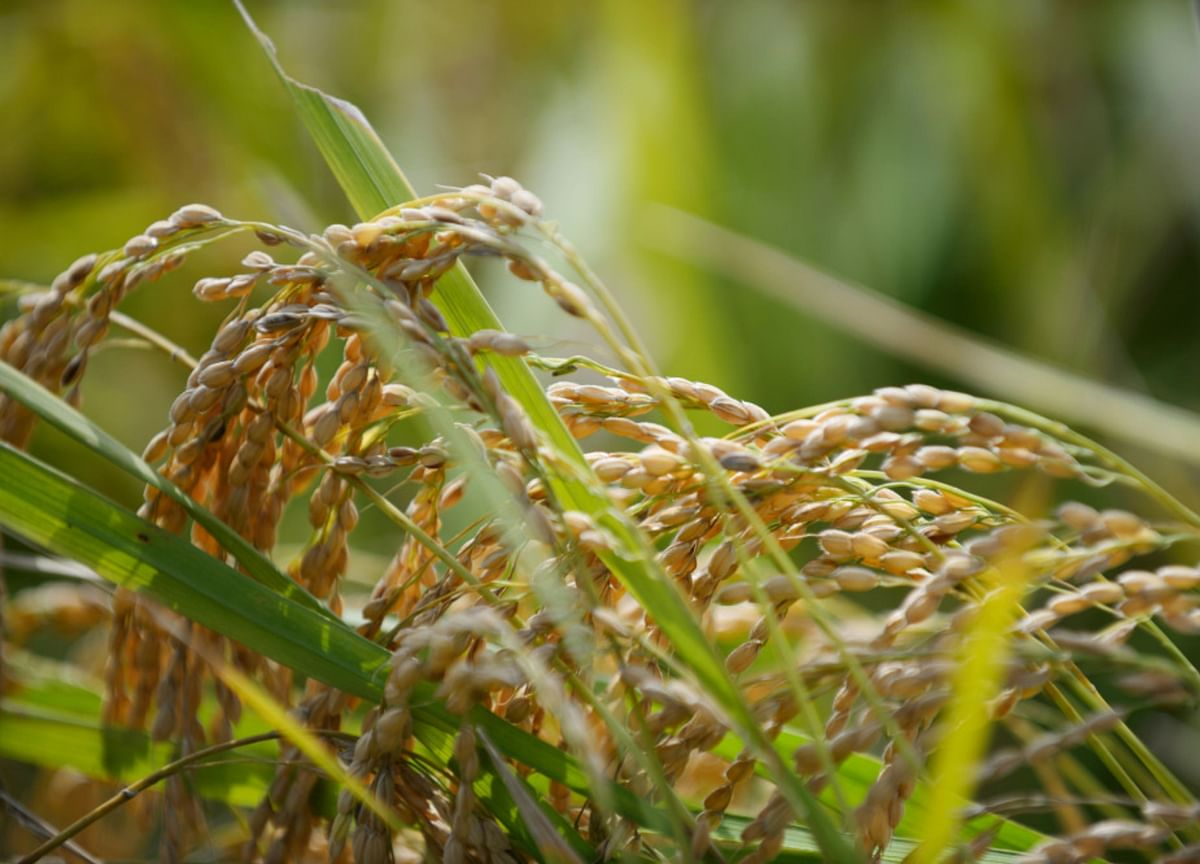 Drought Spurs Australia to Import Rice or Risk Empty Shelves