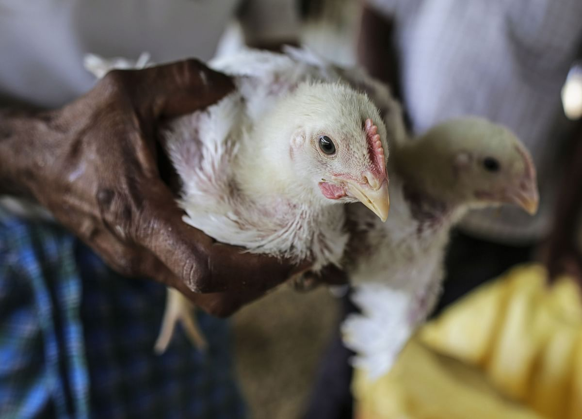 Poultry Farmers in India Seek $2.7 Billion After Virus Scare