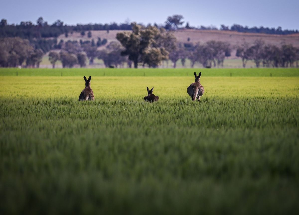 Virus and Trade Woes Set to Cut Australian Farm Exports by 10%
