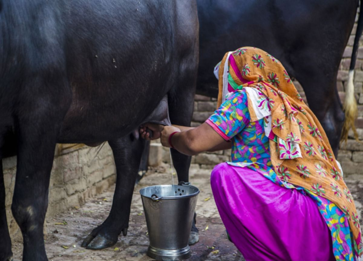 ICICI Securities: Dairy Firms To Defer  Hikes Due To Lower Milk Procurement Prices