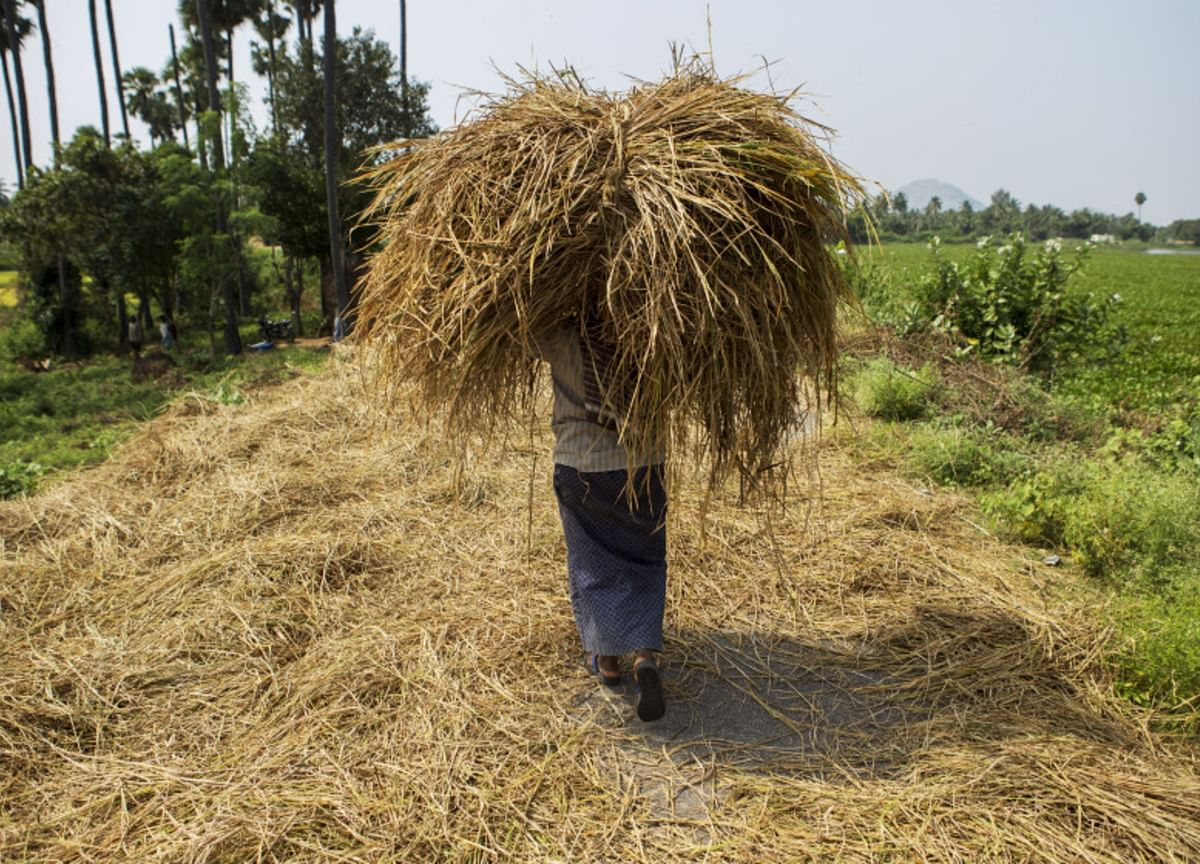 Government's Paddy Buying At MSP Rises 28.5% In Less Than A Month