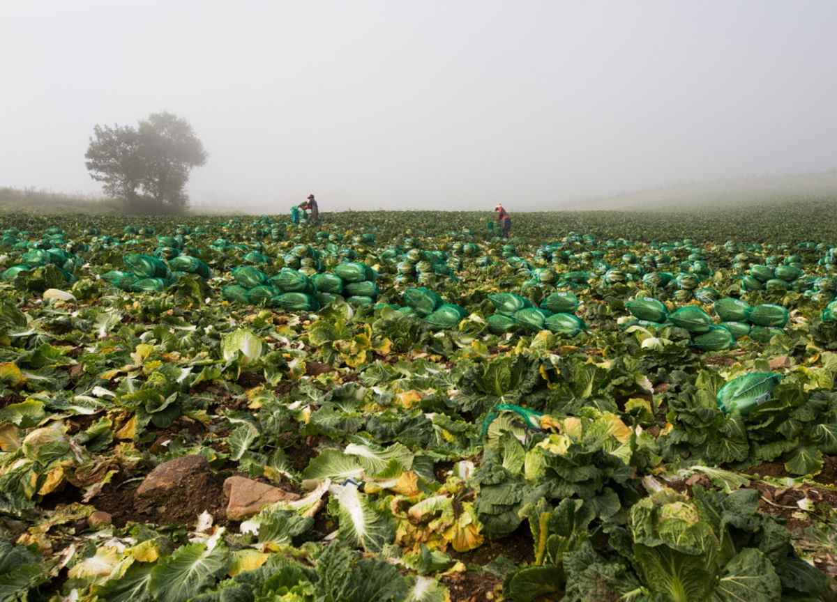 A Kimchi Disaster Is Brewing After Cabbage Fields Crippled