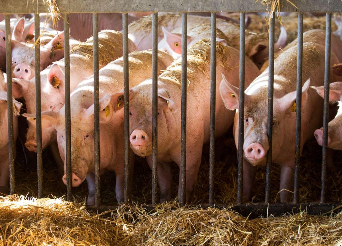 Pork Piles Up in Europe as Virus and Swine Fever Slash Sales