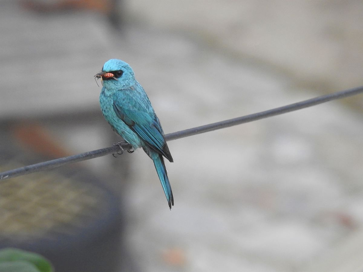 The Verditer Flycatcher is one of the striking birds found in the Himalayas. (Photographer: Neha Sinha)
