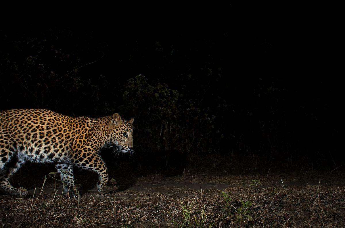The leopard is an inhabitant of Uttarakhand's forested slopes. (Photographer:  Avijan Saha)