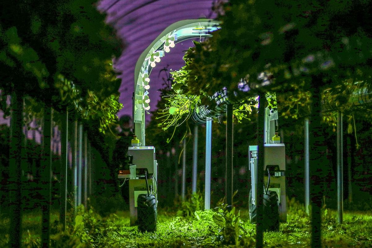 A Saga Robotics Thorvald robot performs a UV light treatment on strawberries during trials organized in Kent, England, on June 29. Photographer: Hollie Adams/Bloomberg